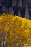 Colorado photos,quaking aspen image,Aspen Tree photos,Gold Aspen photo,Fall colors photos,autumn pictures,Aspen Grove