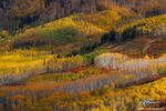 Colorado pictures,Aspen tree photos,Colorado Fall Colors, Autumn picture,quaking aspen image,Gold aspen photos,Forest,grove