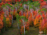 Idaho, autumn picture,Aspen tree photos,Maple tree pictures,scrub oak images,Colorful trees,Idaho fall colors,autumn photo,fall,autumnal,autumn
