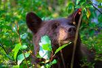 Bear, Black Bear, Bear photos, Grand Teton National Park