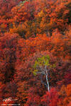 autumn picture,Aspens tree photos,Maple tree pictures,scrub oak images,Colorful trees,Idaho fall colors