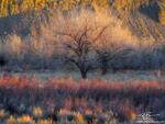Utah, Hanksville, Willows, cottonwood, cottonwood trees, desert, cottonwood tree photos, sunset