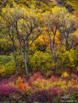 Colorado, Colorado cottonwood tree photos,cottonwood tree, tree,trees,fall,fall foliage, Gunnison National Forest,autumn, colorado fall photos, pictures, images