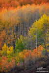 Colorado, Aspen Tree photos,Colorado Aspen Trees, fall foliage, ,gold aspens,Fall Colors,forest image,aspens,autumn pictures,autumn, gold, orange, green,gunnison national forest