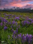 Colorado, Colorado Wildflower photos, Gore Mountains, Mountains, Sunset, Lupine, flowers, flowers, wildflower, wildflowers, Colorado mountain photos, blue