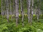 Colorado, Aspens, Aspen, Colorado Aspen Tree photos, tree, trees, aspen trees, green, ferns, summer,aspen tree photos