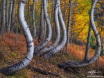 Colorado,twisted aspens,aspen image,aspen tree photos,bole,boles,forest,wilderness,unique,yellow,gold,colorado fall foliage photos,colorado fall photos