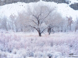 Utah, Snow, Snowy, Hanksville, Hanksville Photos, Winter, cold, tree, trees, fresh snow, desert, desert southwest, cottonwood trees, cottonwood tree, delicate