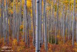 Colorado Aspen tree photos,Autumn picture,Colorado Fall Colors,Fall foliage pictures,Gold Aspens,quaking aspen image