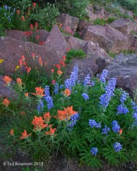 Colorado,Indian Paintbrush,Lupines,Picture,photo,image,images,Shrine Ridge,flower,flowers,wildflowers,wildflower