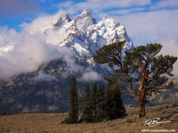 Grand Teton Photographs,Old Patriarch Photos,Old Patriarch tree image,tetons,Grand Teton National Park photos, Old Patriarch photos, Wyoming, Grand Teton National Park, Grand Tetons,
