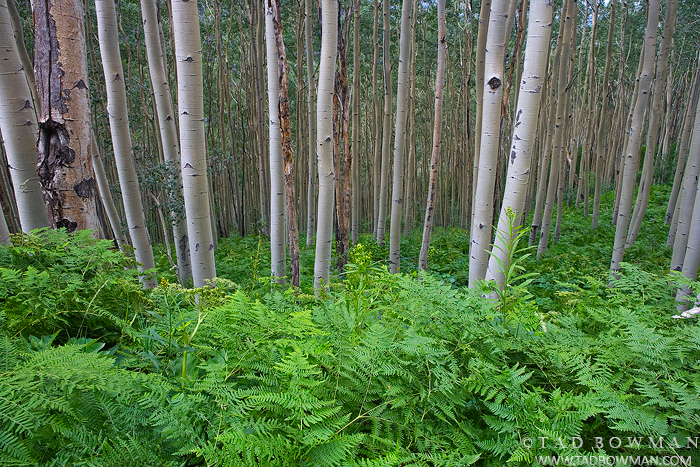 quaking aspens images,Wilderness,Green,Ferns,Uncompahgre Forest, Colorado pictures,Aspen Tree photos, photo