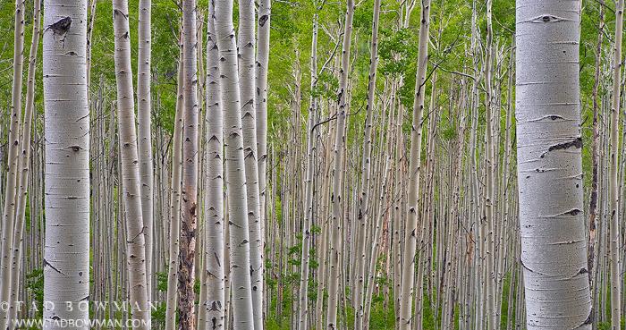 Colorado Aspen Tree pictures,quaking aspen photos,green Aspens,Aspen Forest photos,Foliage, Aspen Grove images, photo