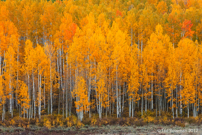 autumn aspen forest free wallpaper in free desktop