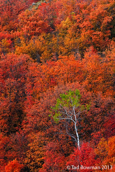 autumn picture,Aspens tree photos,Maple tree pictures,scrub oak images,Colorful trees,Idaho fall colors, photo