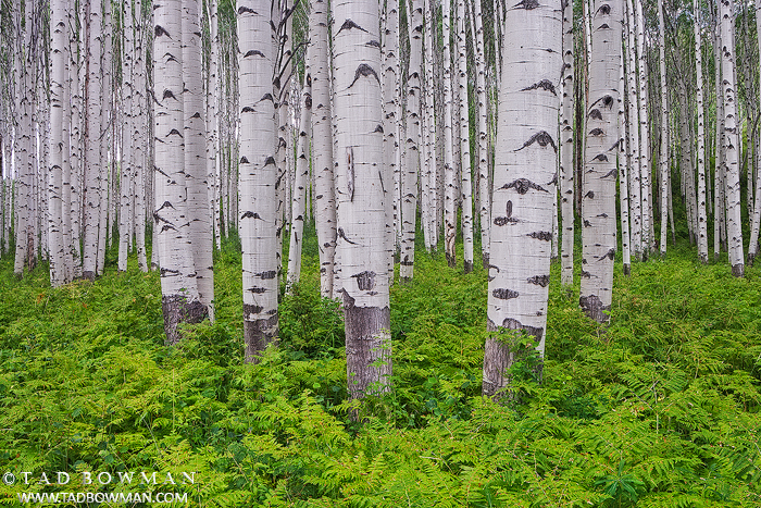 Gunnison,Colorado pictures,Aspens,Aspen Tree photos,Ferns image,Green,Summer,forest,wilderness,grove, photo