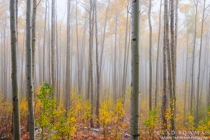 Colorado photos,fall foliage image,gold,foggy,White River National Forest,forests,aspen tree photos,autumn pictures, photo