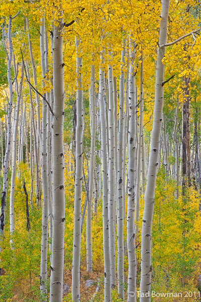 Colorado pictures,Fall images,fall colors,gold, White River National Forest,forest,fall aspen trees photos, photo
