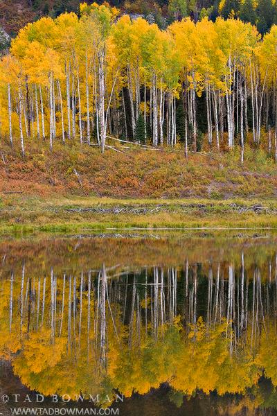 Aspen Reflections,gold aspens photo,autumn pictures,Fall Colors,Colorado Foliage images,Colorado Aspen Tree photos, photo