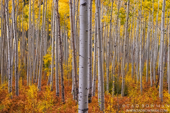 Colorado Aspen tree photos,Autumn picture,Colorado Fall Colors,Fall foliage pictures,Gold Aspens,quaking aspen image, photo