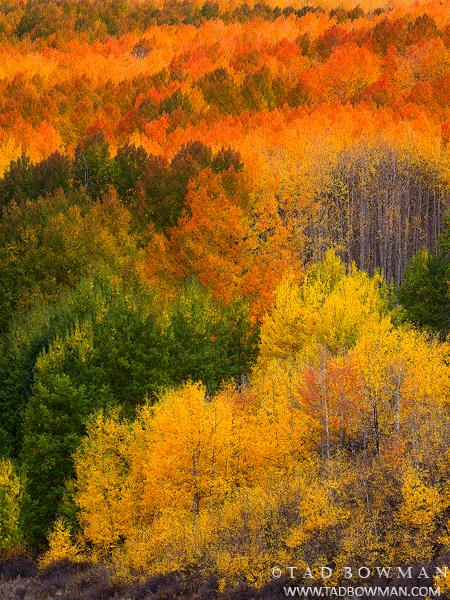 Colorado Aspen Trees photos,quaking aspens,gold aspens,Fall Colors,forest image,aspens,autumn pictures,aspen Grove, photo