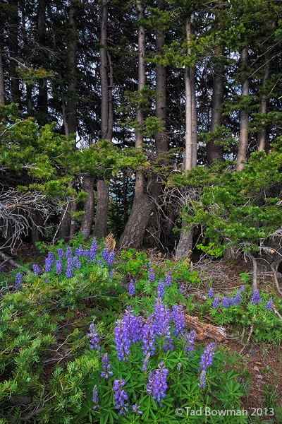 Colorado, White River National Forest, lupine, lupines,pine trees,purple,flowers,wildflower,wildflowers,flowers, photo