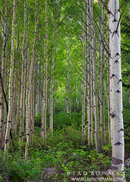 Colorado photos,aspen image,aspen tree photos,bole,boles,forest,wilderness,unique,green,spring,aspen pictures,images,aspens,aspen trees