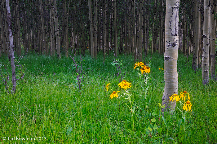 Colorado,Wildlower,widlfowers,flower,flowers,sunflower,yellow,aspen,aspens,green,grass,uncompahgre national forest, photo