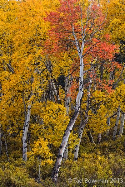 Colorado, fall,autumn,autumnal,aspen,aspens,aspen tree photo, fall aspen tree photos, Colorado aspen tree photos,red,gold,yellow, fall foliage,quaking aspens, colorado fall colors,pictures,images,phot, photo