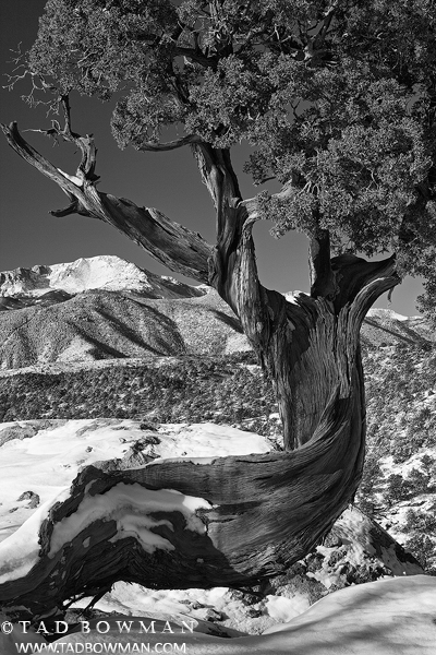 Juniper Tree Photos, Pikes Peak Photo, Winter, Black&white photo,Garden of the Gods pictures, photo