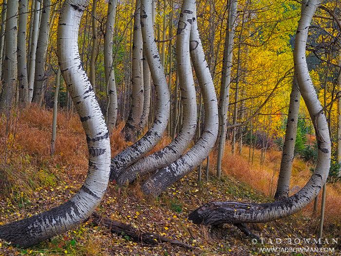 Colorado,twisted aspens,aspen image,aspen tree photos,bole,boles,forest,wilderness,unique,yellow,gold,colorado fall foliage photos,colorado fall photos, photo