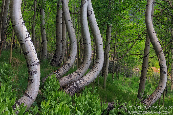 Colorado photos,twisted aspens,aspen image,aspen tree photos,bole,boles,Colorado Aspen trees,green,spring,aspen pictures,images, photo