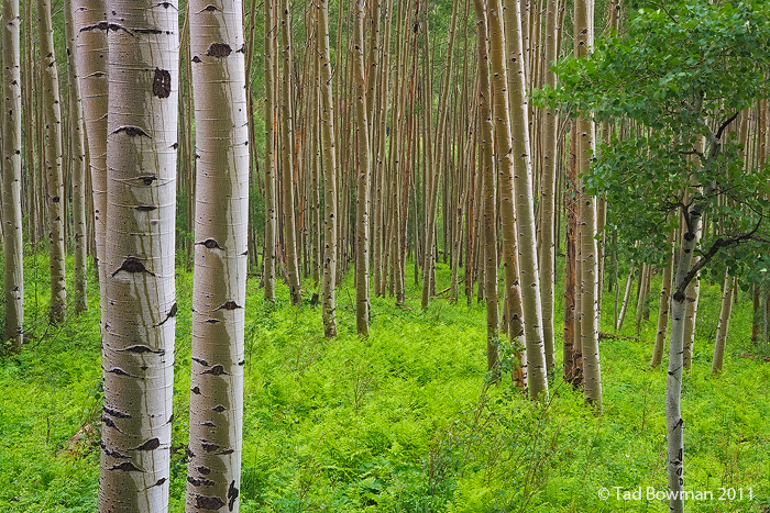 Colorado photos,Aspens tree photos,Trees,Forest,Rain,Wet, Green,Ferns image,White River Forest,aspen tree pictures, photo