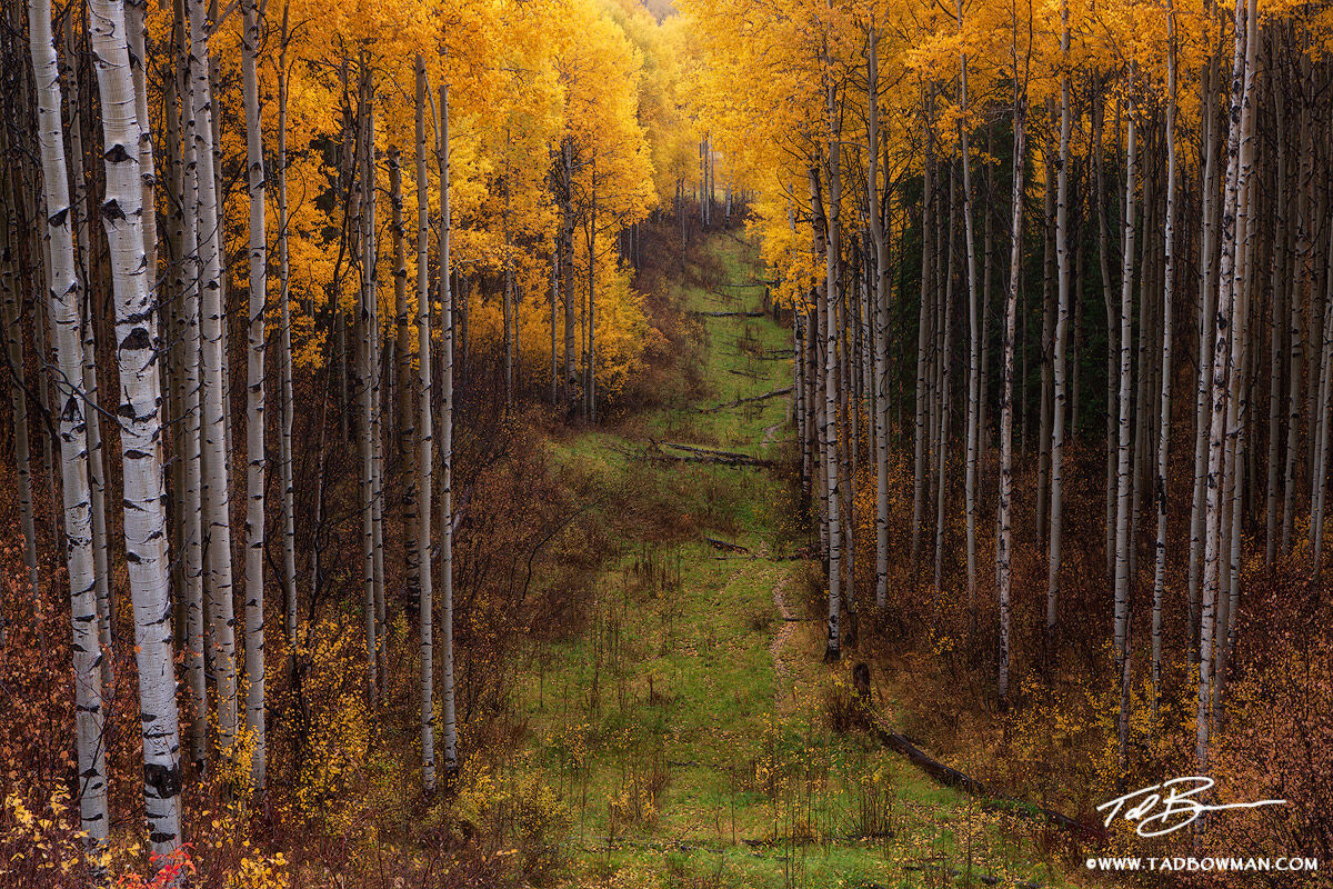 This Colorado autumn picture depicts a gold aspen grove divided by a green path.