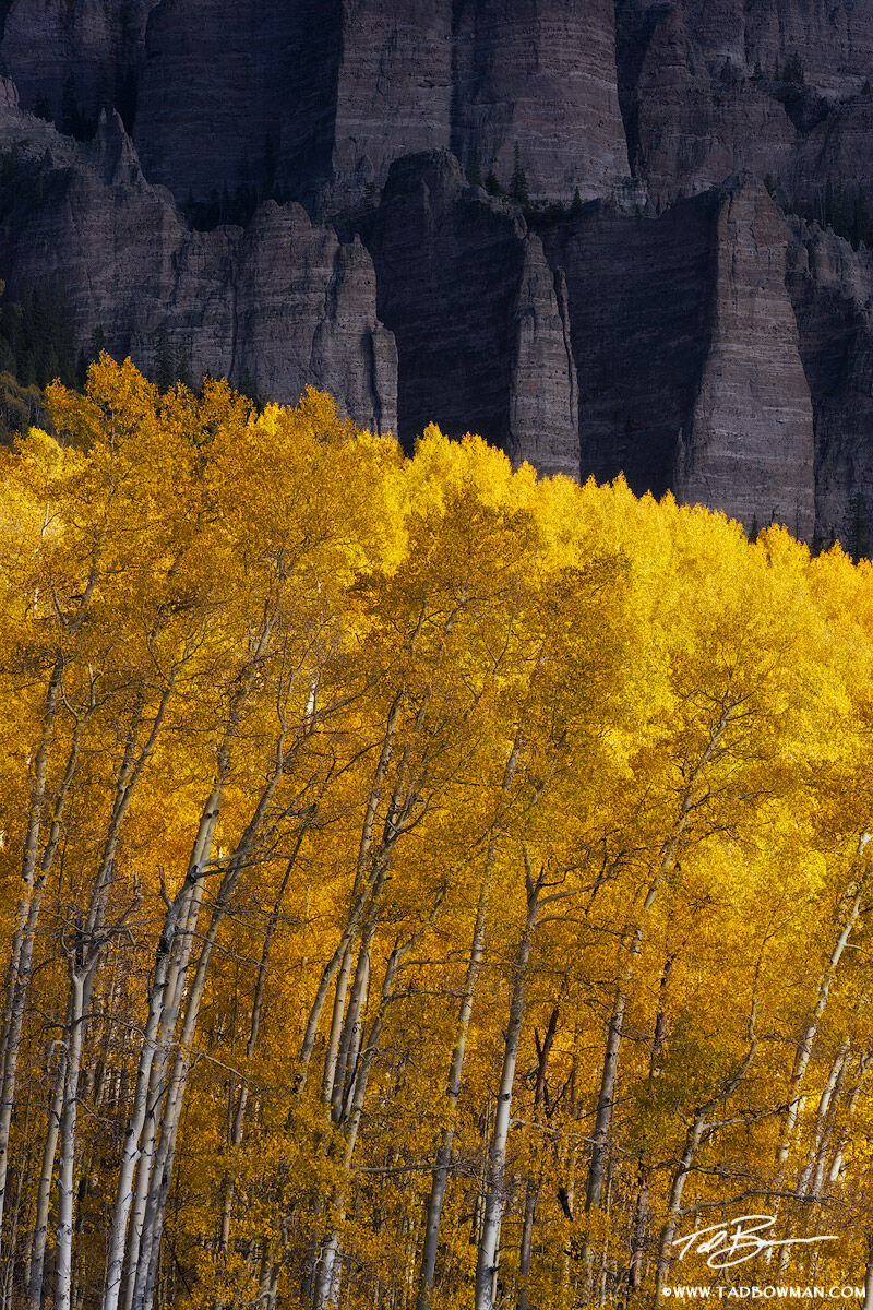 Colorado photos,quaking aspen image,Aspen Tree photos,Gold Aspen photo,Fall colors photos,autumn pictures,Aspen Grove, photo