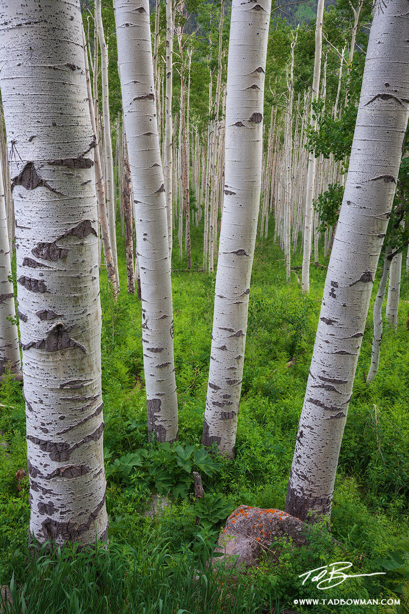 Colorado Aspen Tree pictures,Spring,Green Aspens,Aspen Forest photos,Aspen Grove image,quaking aspen,foliage, photo