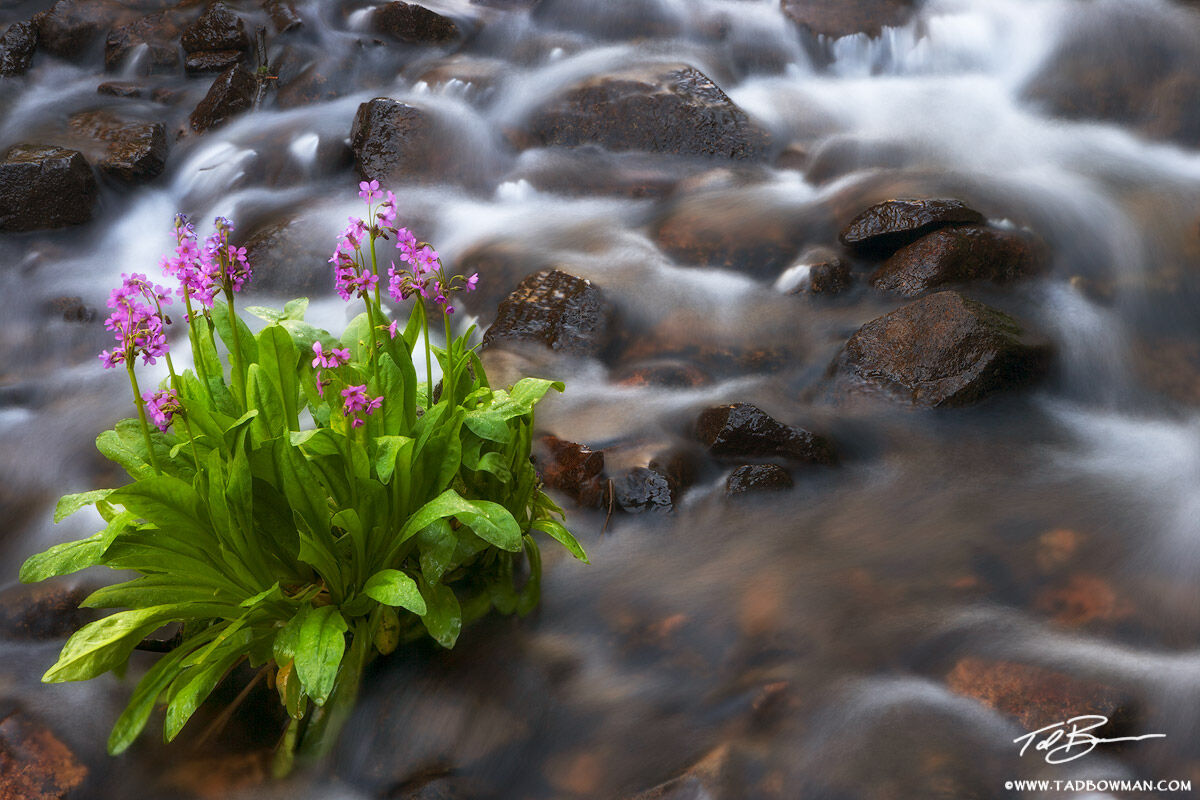 Parry Primrose photos, Indian Peaks Wilderness,Colorado pictures,Mountain Stream image,Mountain wildflower, photo