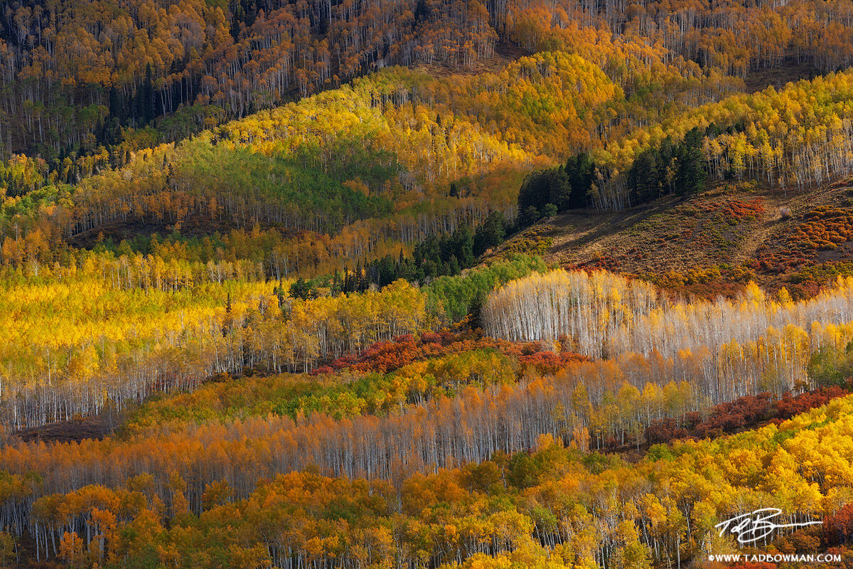 This Colorado autumn picture depicts an aspen tree forest with red, gold, orange, and green aspen trees in the Uncompahgre Wilderness...