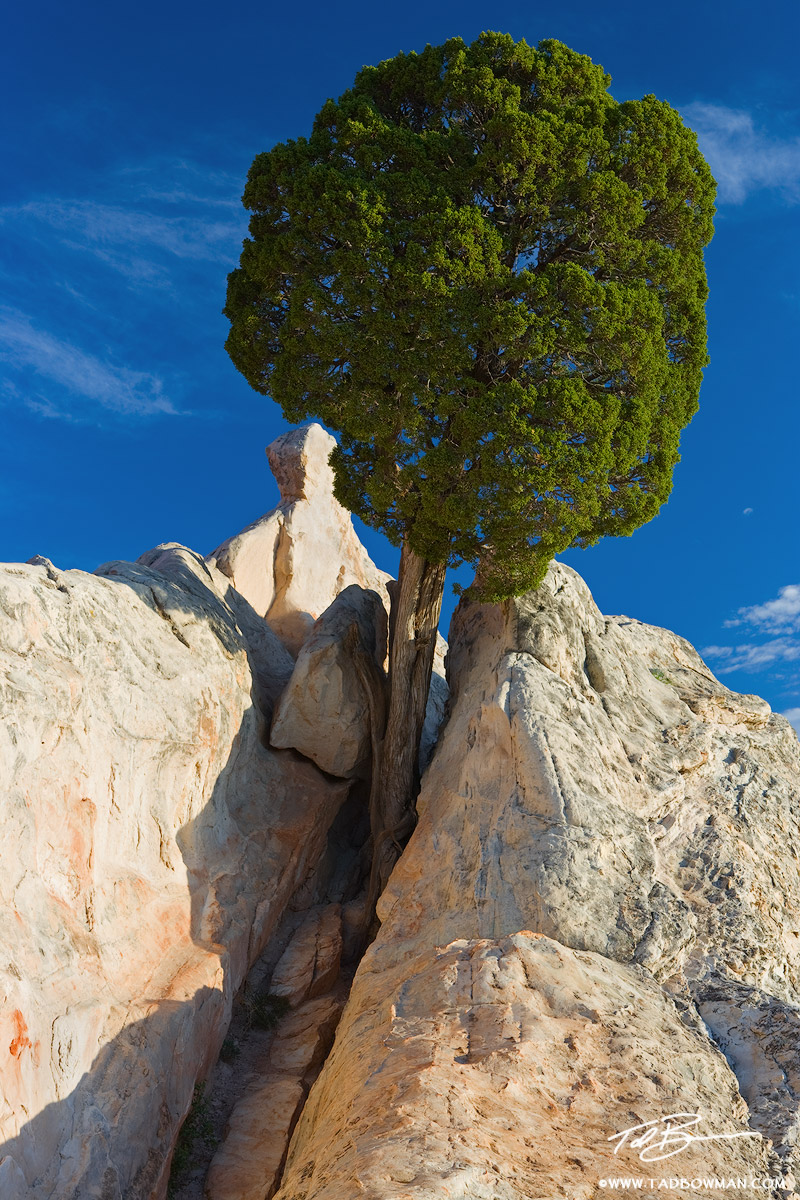 This Colorado photo depicts a Juniper tree growing out of a rock in the Garden of the Gods Park.