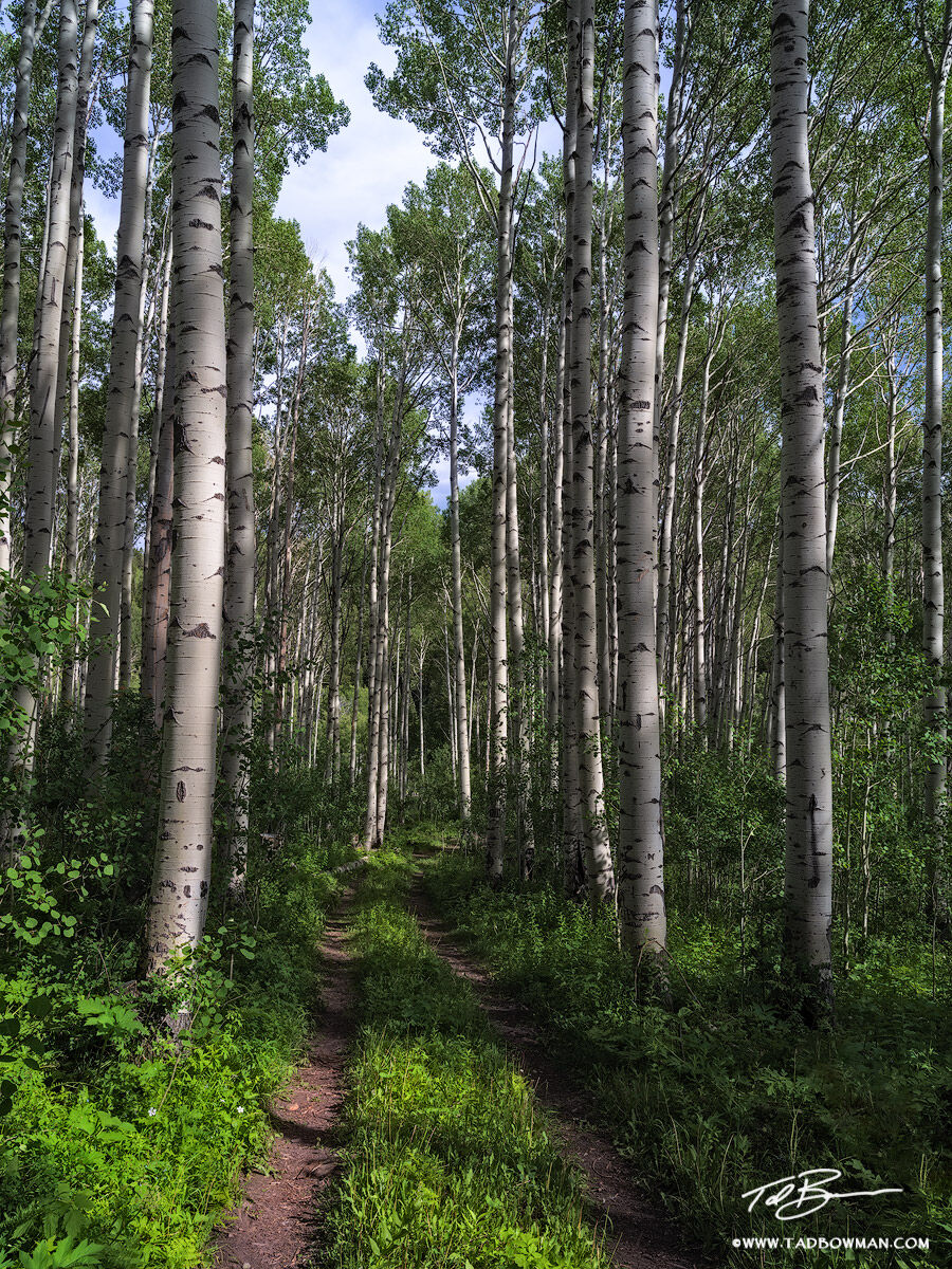 This Colorado tree photo depicts an aspen tree forest with a walkway leading through it in the Gunnison National Forest, Colorado...