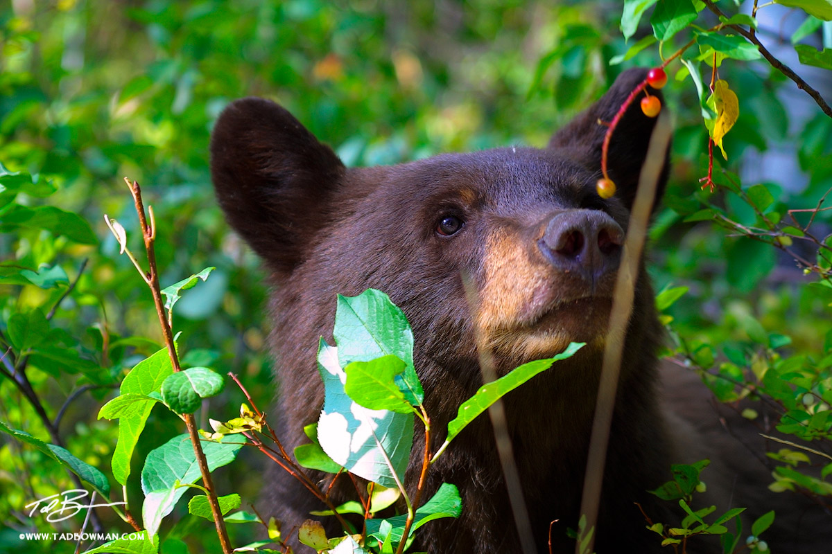 This photo depicts a young bear eating berries in a forest situated in the Grand Teton National Park
