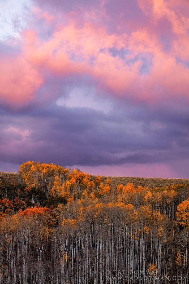 Colorado, fall, fall foliage, fall colors, autumn, autumnal, pink, sunset, orange aspen trees, aspen tree photos, aspen trees, aspens,san juan national forest, colorful , photo