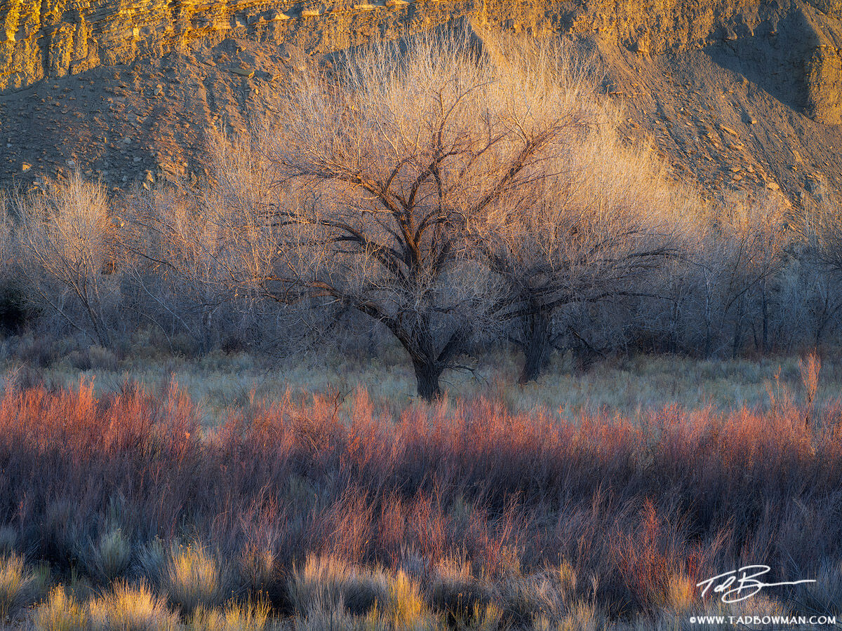 This Utah desert photo depicts last light on a cottonwood tree with colorful willows in the foreground