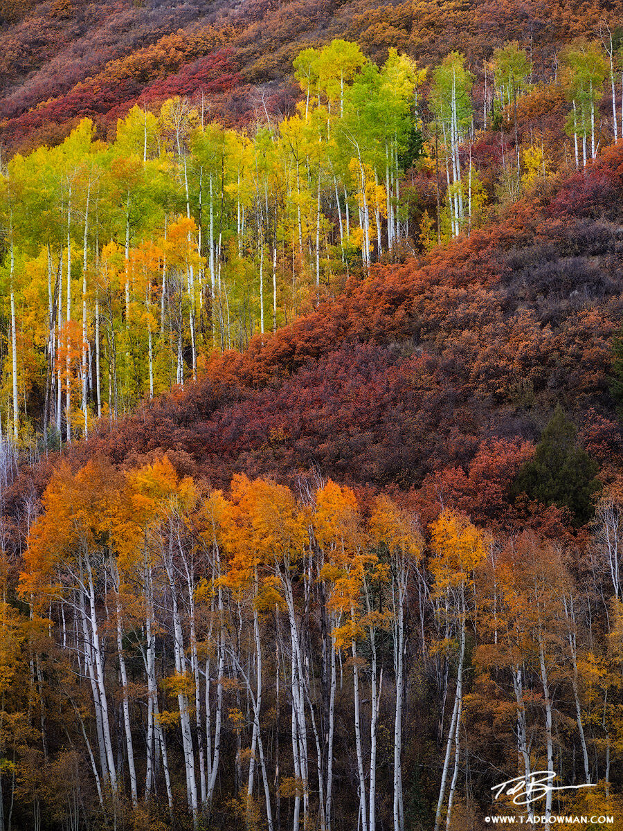 This Colorado photo depicts colorful fall foliage and aspen trees lining a hillside.