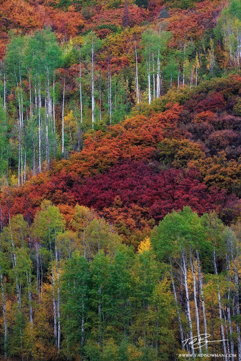 Colorado, Colorado Fall Photos, Aspen Trees, Aspens, Fall, Fall Foliage, Autumn, scrub oak, scrub oak trees, white river national forest, colorful , photo