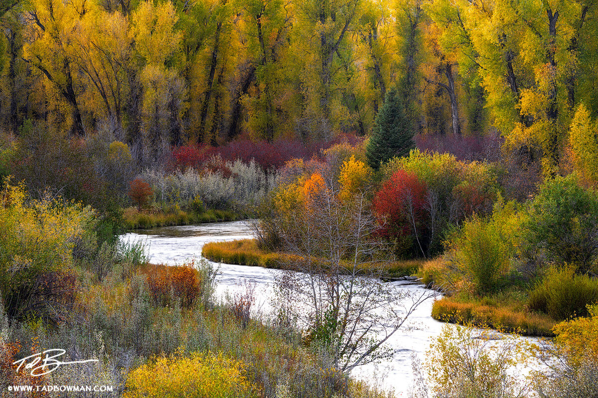 Wyoming, Grand Tetons, Grand Teton National Park photos, Cottonwood trees, fall, autumn grand teton fall colors, river, streams, fall foliage, photo