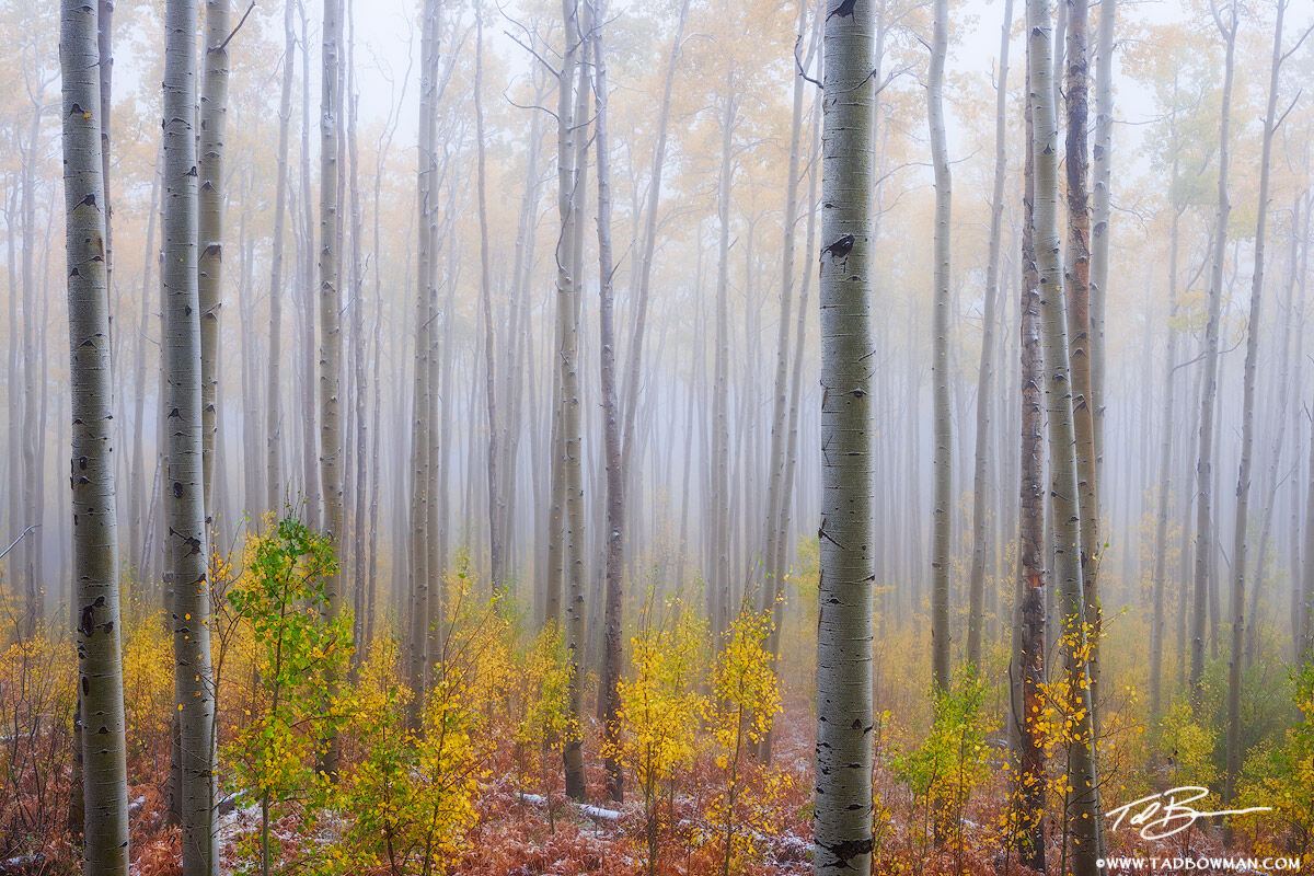 This Colorado fall photo depicts a gold foggy aspen tree forest in the White River National Forest
