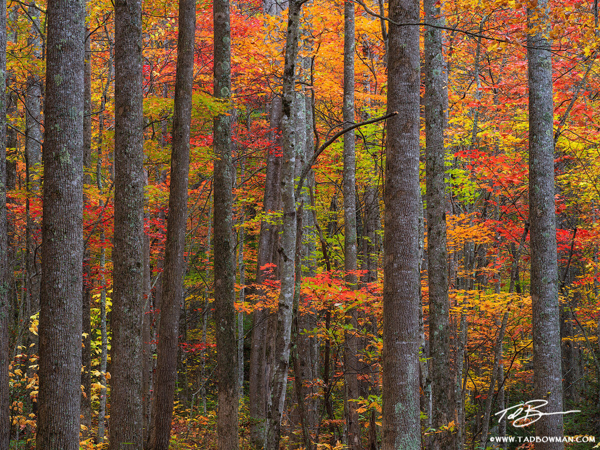 This Smoky Mountains photo depicts colorful fall foliage behind a pattern of tree trunks