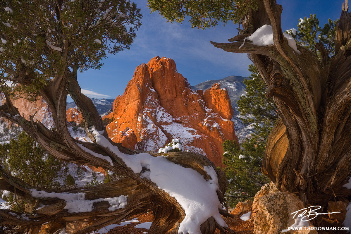 This photo depicts Garden of the Gods rock formations framed by a juniper tree in the early morning hours
