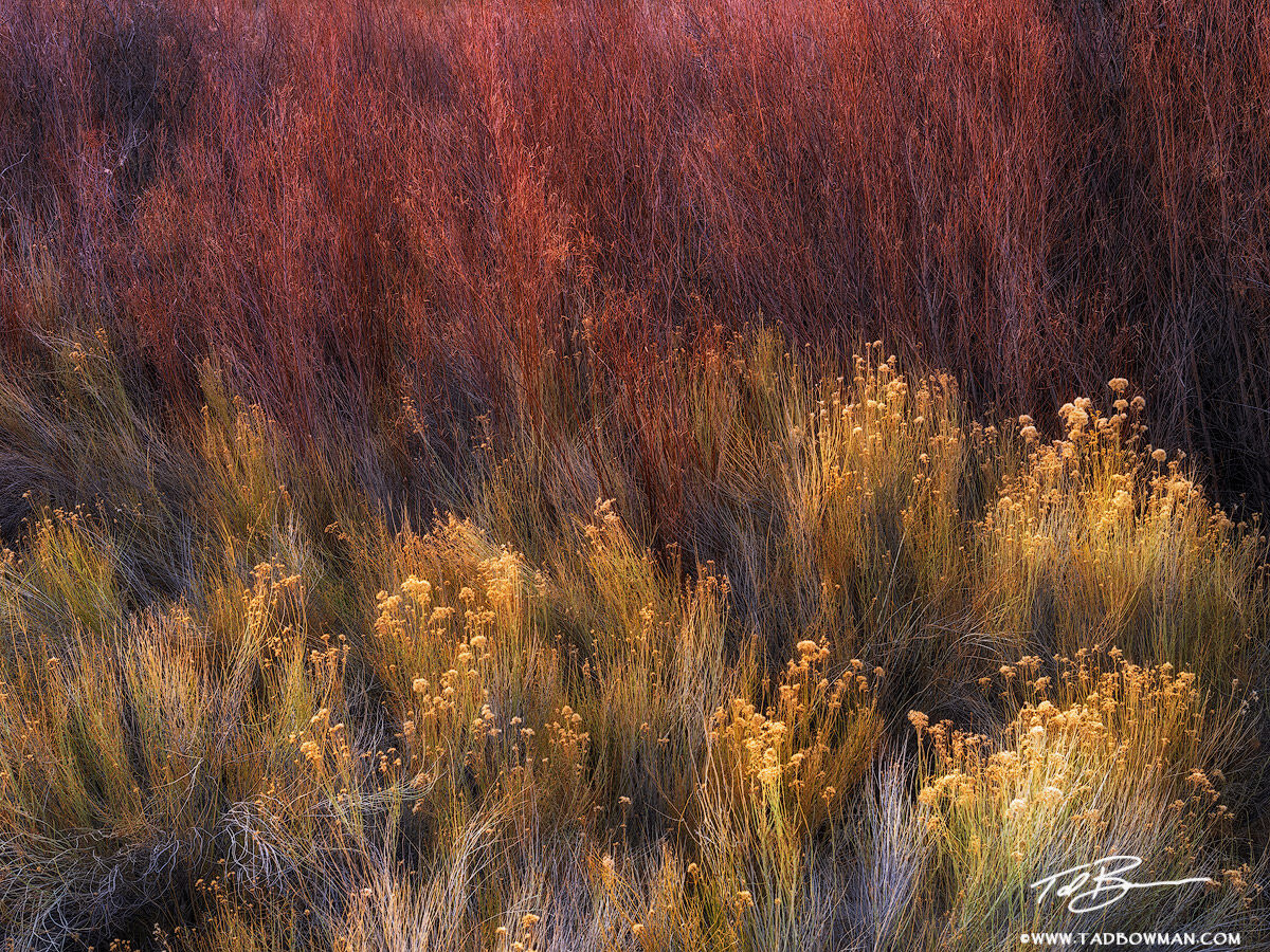 This desert photo depicts last rays of light shining on willows and shrubs in Capitol Reef National Park.